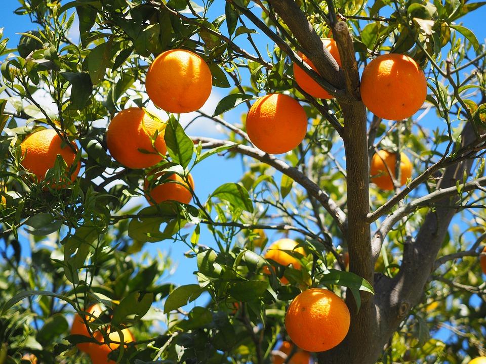 Δέντρο πορτοκαλιάς